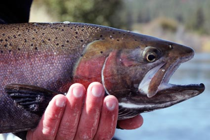 Klamath Redband Trout, Klamath Lake Fishing Guide